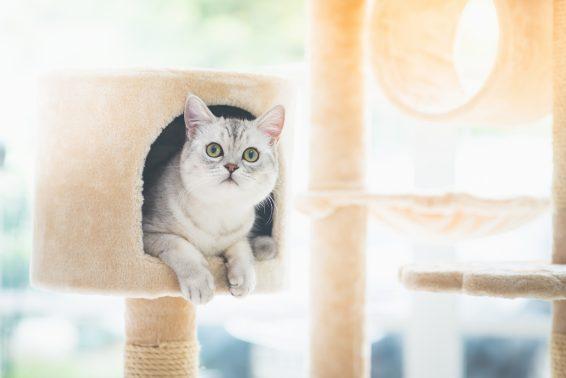 キャットタワーから見つめる猫