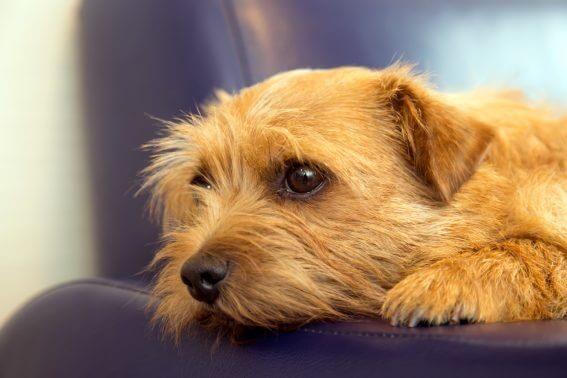 ソファに顔を預ける犬