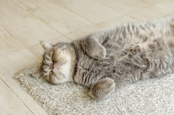 自宅で寝そべる猫