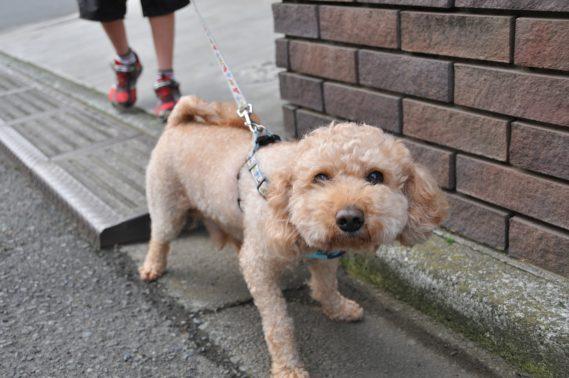 散歩時にトイレする犬