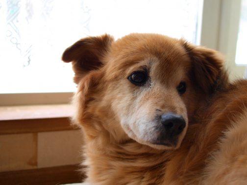 窓際の老犬