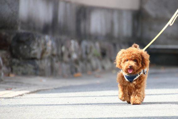 プードルと散歩