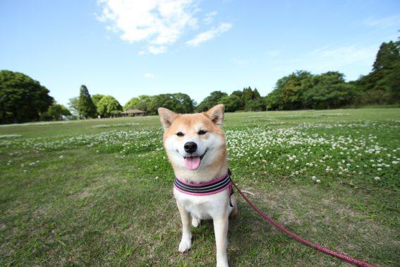 広い公園で撮影した柴犬