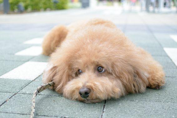 散歩行きたい犬