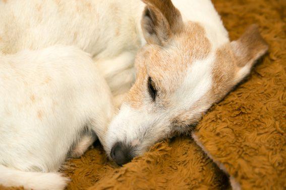 すやすや眠る老犬