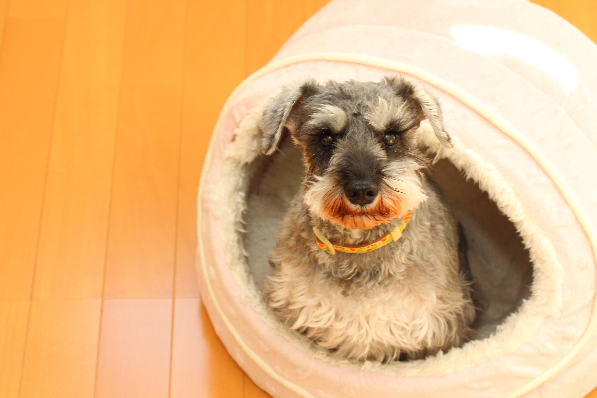 自宅のベッドに入る犬