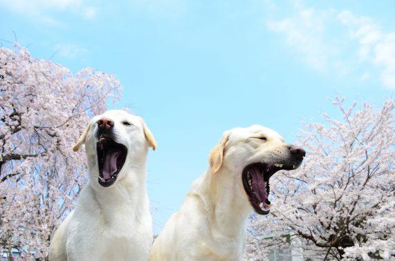 あくびする犬たち