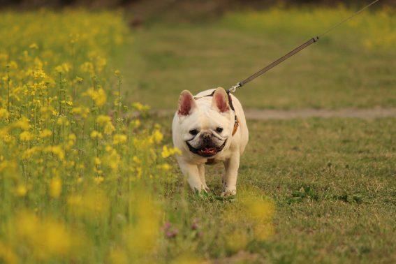春の散歩を楽しむ犬