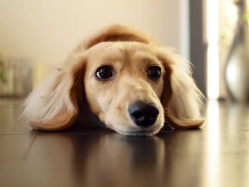 上目遣いする犬