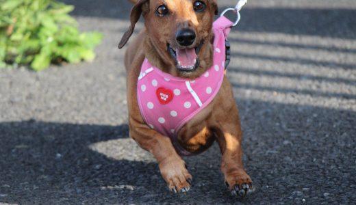 犬のダイエット方法に最適!散歩代行から始まる運動不足・ストレス解消法