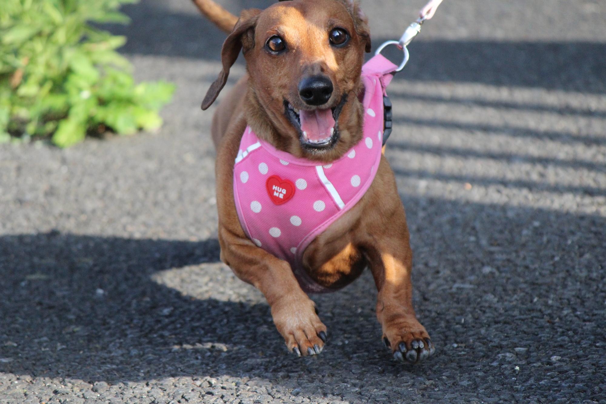 楽しく散歩する小型犬