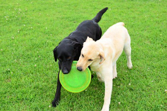 フリスビーで遊ぶ犬達