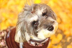紅葉の下見つめる犬