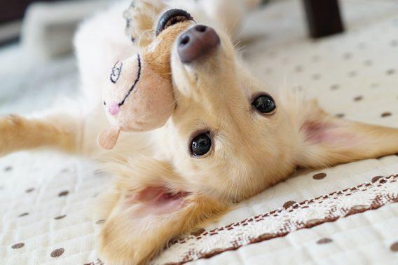 室内で遊んでいる犬