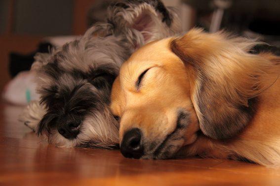 ぐっすり寝る犬たち