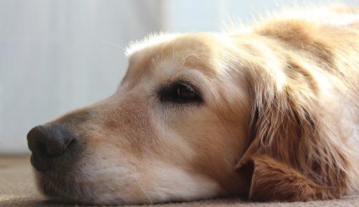 大型犬と小型犬の室内飼いの違い|賃貸マンションで困ったときは?