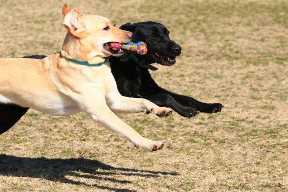 遊ぶ大型犬