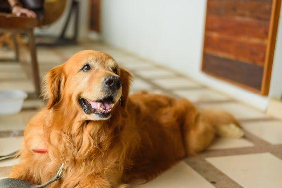 笑顔を見せるゴールデン犬