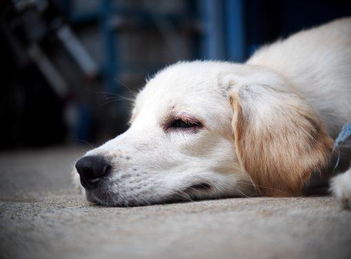 ぐっすり眠るレトリバー犬