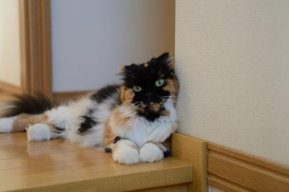 玄関に横たわる猫