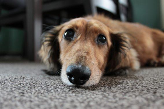 上目づかいの犬