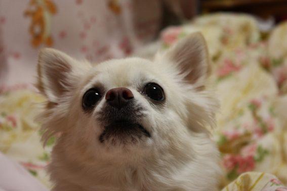 見つめる小型犬のチワワ