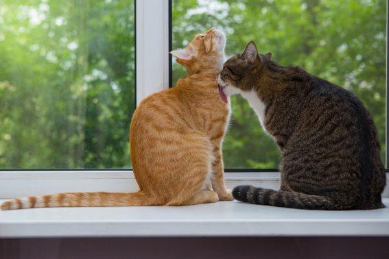 窓際で毛づくろいする猫