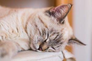 ぐっすり自宅で寝る猫