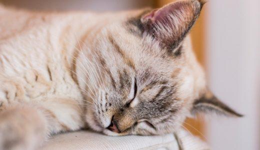 一人暮らしで猫を飼うなら|留守番時の対策と先輩飼い主の事例
