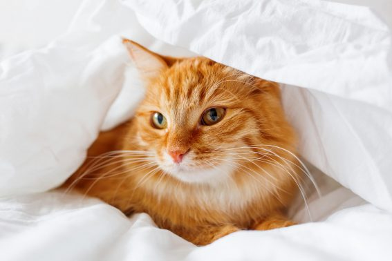 シーツにくるまった猫