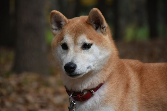 江戸川区を散歩中の柴犬