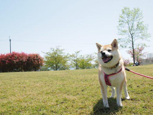 大型犬や若いわんちゃんに!90分以上の徹底お散歩コース!