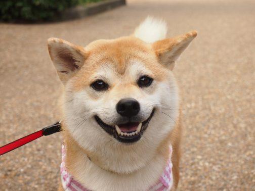 散歩好きな犬