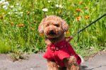 洋服を着て散歩する犬