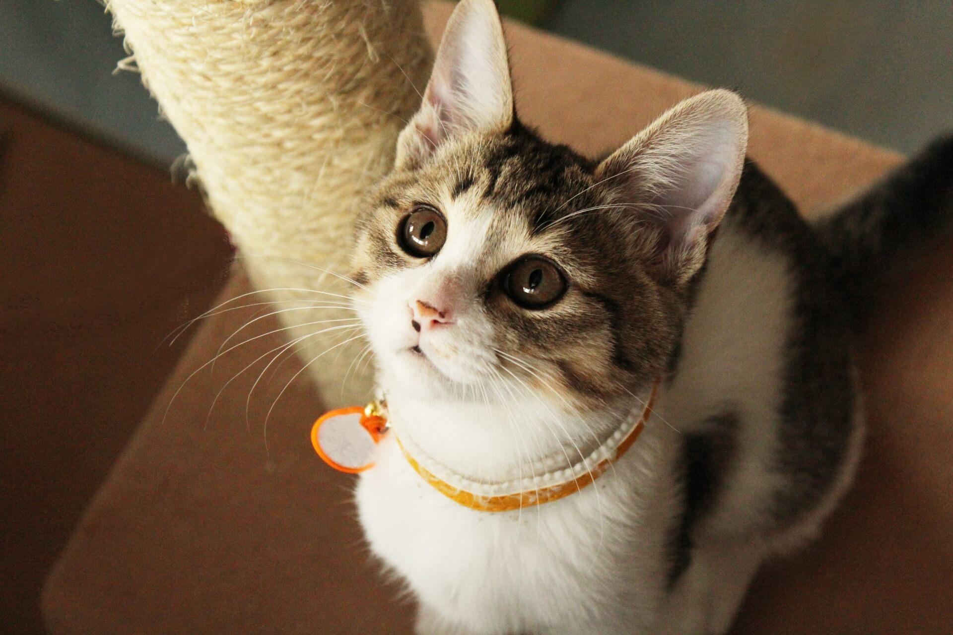 キャットタワーに乗る猫