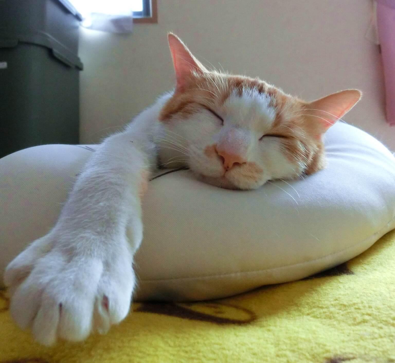 自宅でくつろぐ猫