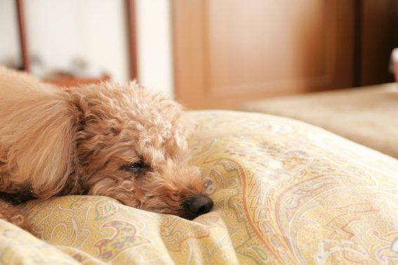 家でぐっすり寝る犬