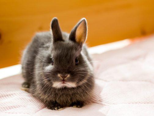 見つめる子ウサギ