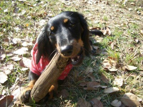 木の棒で遊ぶ犬