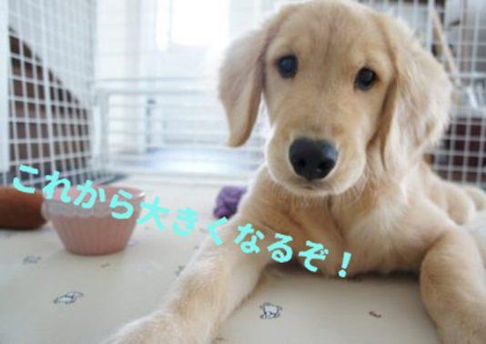 大型犬の子犬