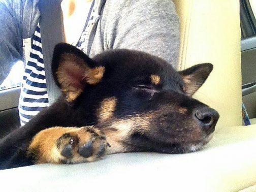 飼い主の側で眠る犬