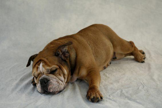 寝そべるブルドッグ
