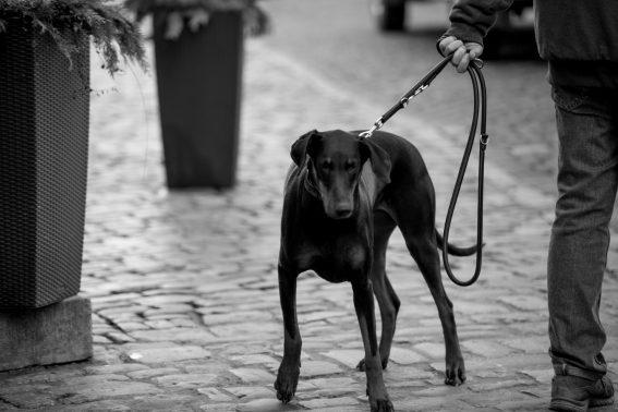 颯爽と散歩する黒い犬