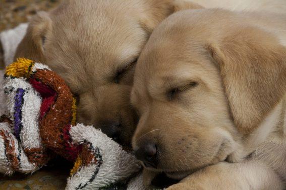 ぐっすり眠る仔犬達