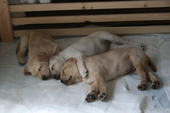 兄弟で眠る子犬達
