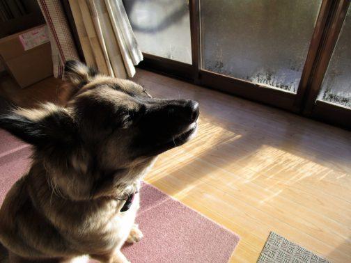 日向ぼっこする大型犬