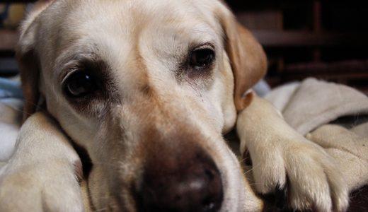 【大型犬の健康寿命】飼い主さんにできる健康管理とポイント