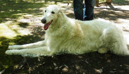 大型犬には運動&しつけ必須!ペットシッターなら自宅でサポートできます