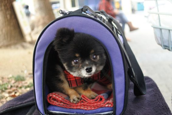 出発準備万端の犬