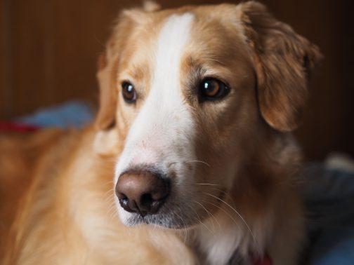 落ち着いた表情の犬